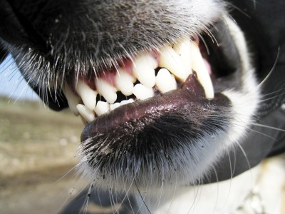 dog_teeth